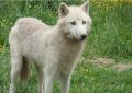 Witte wolf.jpeg